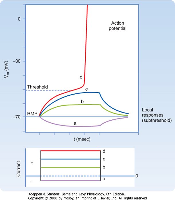 explain the relationship between threshold potential and an action