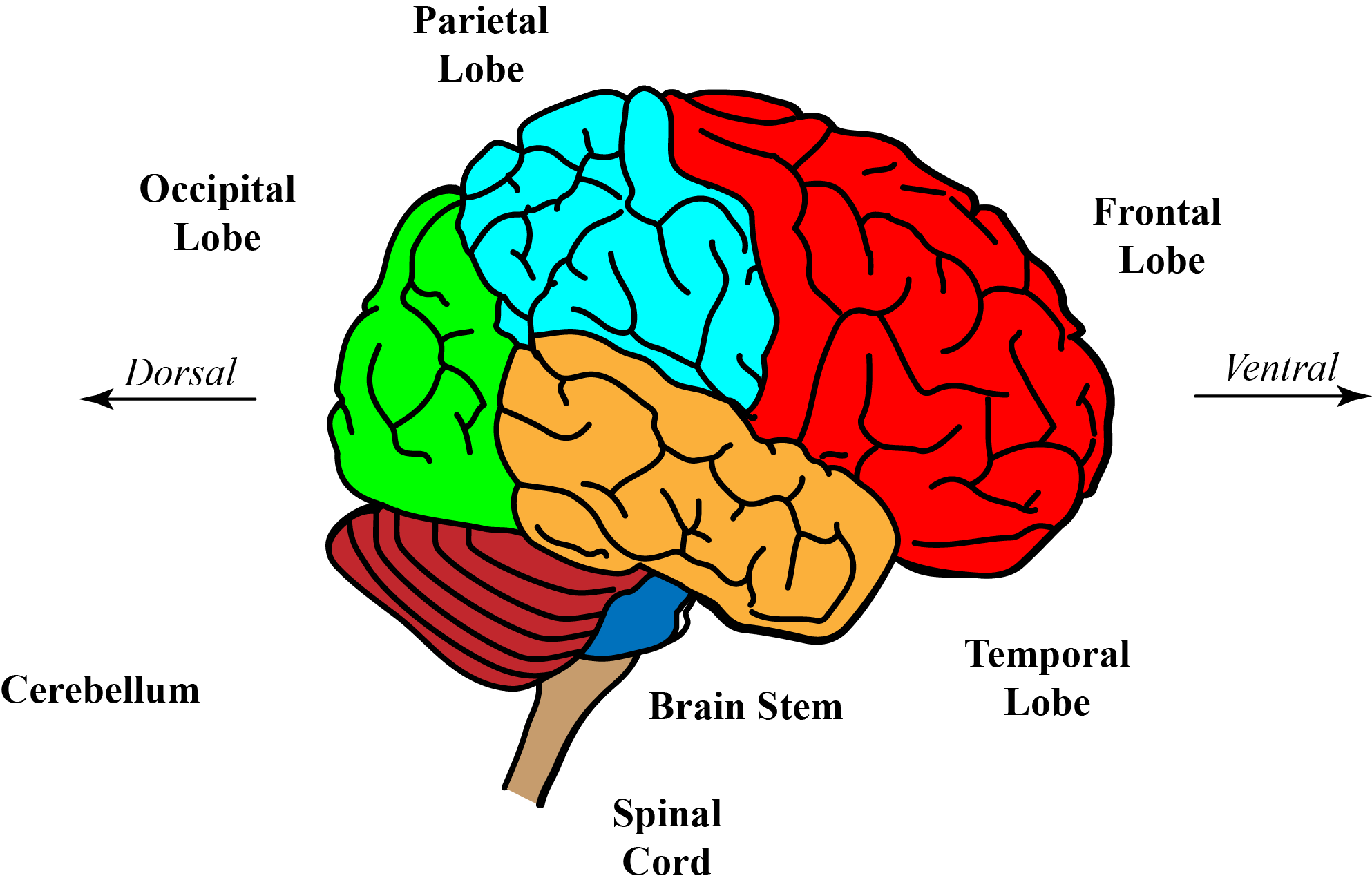 Introduction to the cns diagram of a lateral view of the brain and top of spinal cord ccuart Choice Image