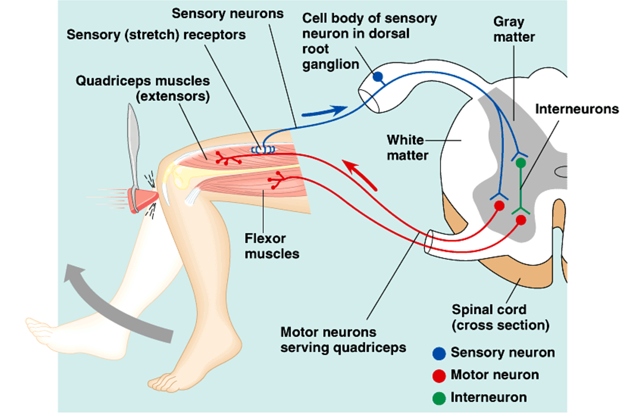 the reflex arc The reflex arc debate the pathway followed by the stimulus (impulse) from  beginning to end is the reflex arc the general reflex arc (see figure in purves) of  the.