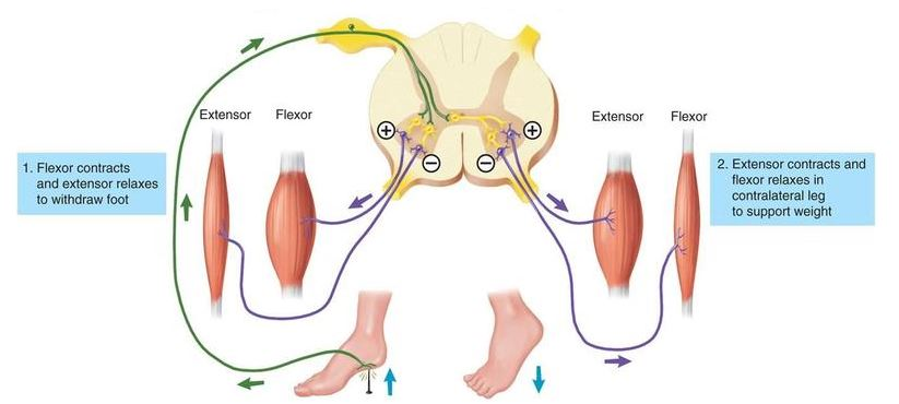 Spinal reflexes as in the flexor reflex reverberating circuits are involved in the prolonged excitation of extensor motoneurones so as to maintain support for the body ccuart Gallery