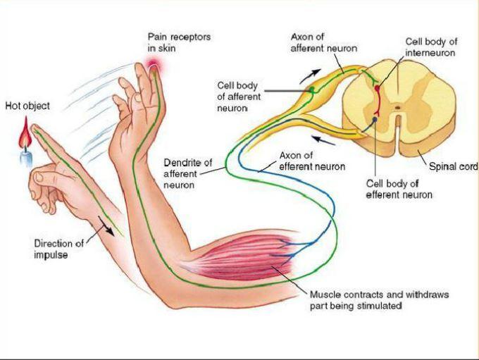 Spinal reflexes.
