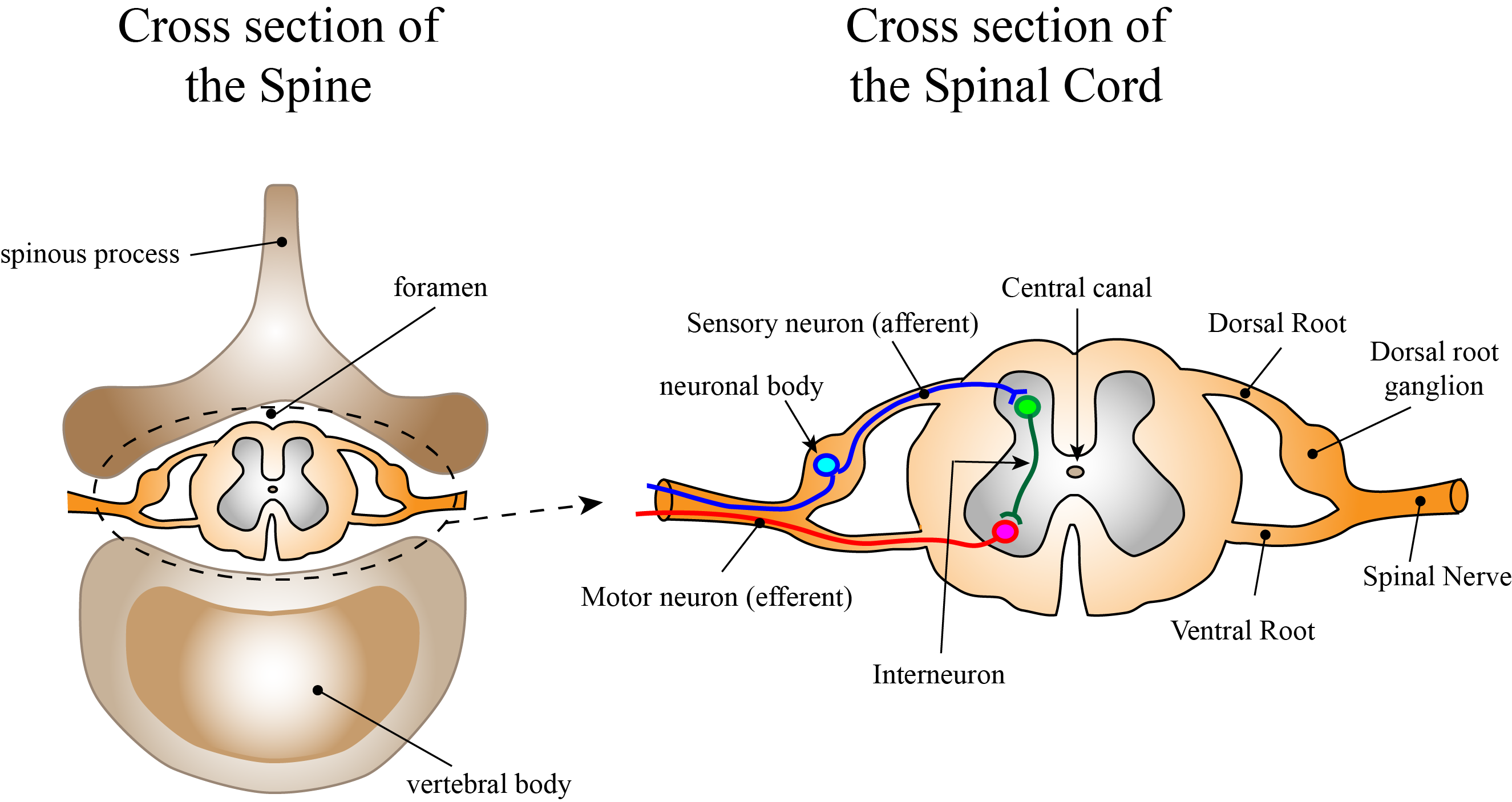 The cell bodies of these autonomic neurones are found in the lateral horn  of the grey matter of the 1st thoracic to 2nd lumbar, and sacral segments  2-4 (see ...