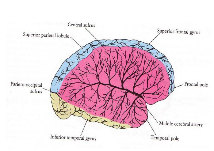 Middle Cerebral Artery Anatomy Choice Image Human Body Anatomy