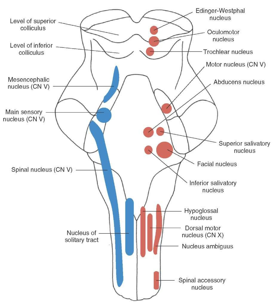 Chapter 3 this diagram shows the nuclei of many of the cranial nerves in the brainstem sensory nuclei are in pink on the left motor nuclei in blue on the right ccuart Image collections