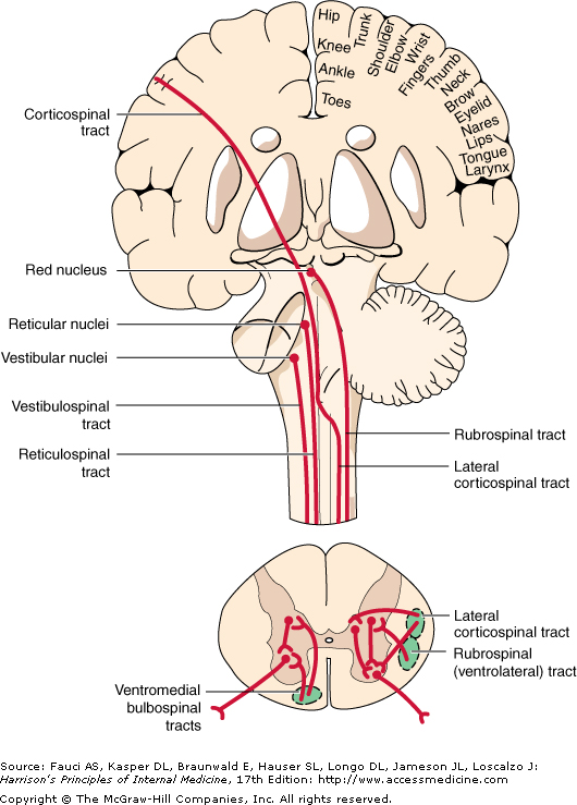 bulbo spinal pathways the extrapyramidal system