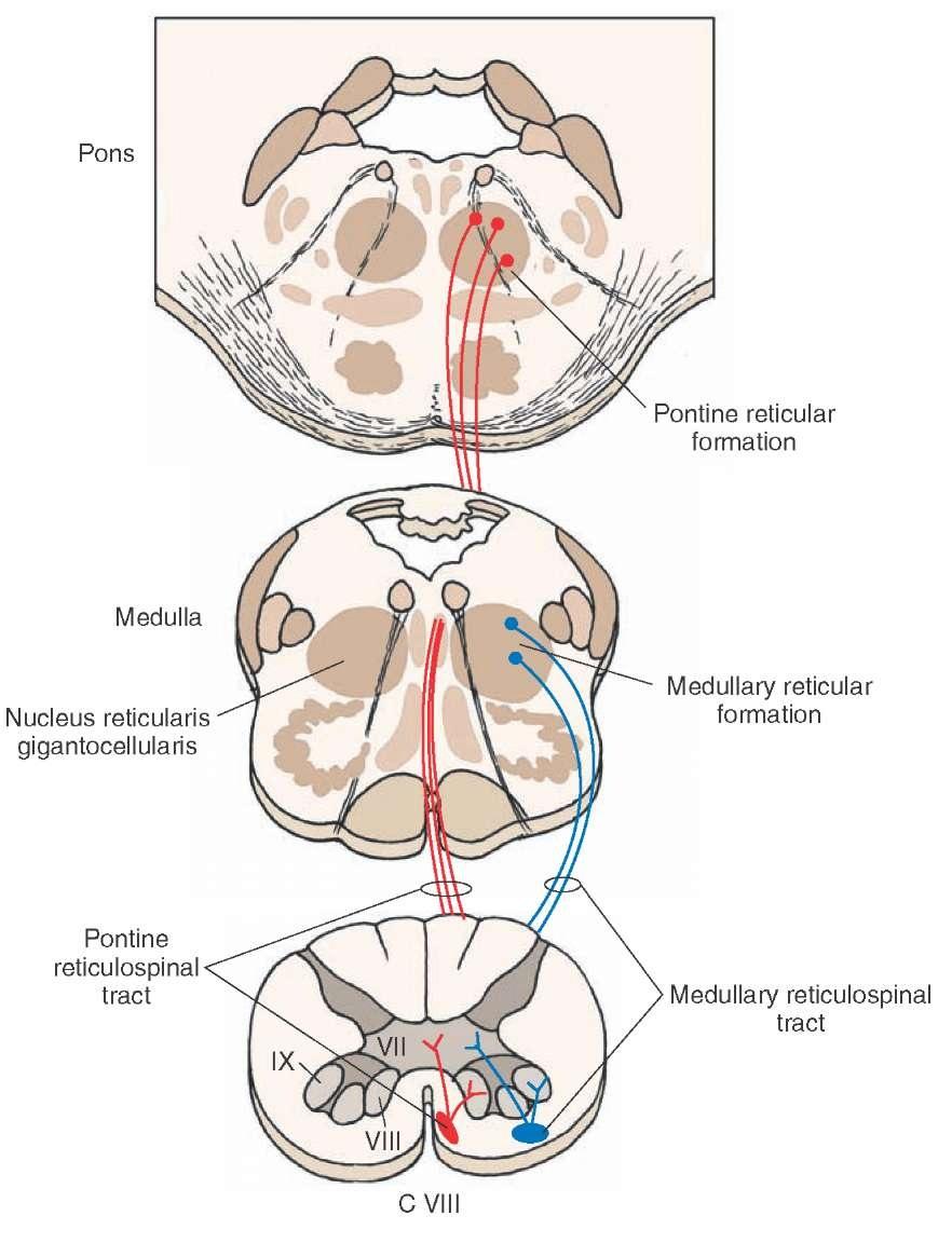 Reticular Formation Medulla