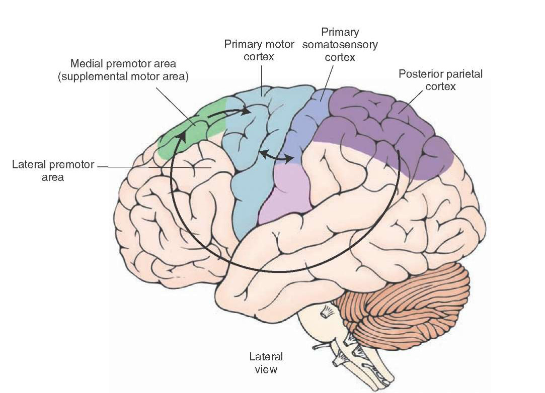 Motor and somatosensory cortex impremedia the diagram shows the route taken by information travelling from the posterior parietal cortex to the ccuart Gallery